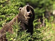 Картинка из Медведь
