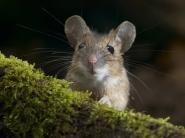 Картинка из Мышь